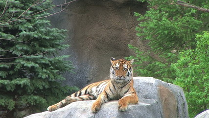 Tiger Rests on Rock