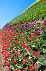 Tulip Sunray