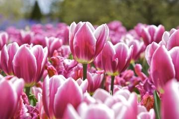 Tulpen auf Wiese
