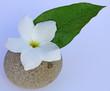 fleur blanche de frangipanier et feuille verte sur galet rond