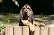 jeune saint hubert debout sur une barrière en bois curieux