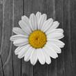 Margeriten-Blüte auf Holzhintergrund