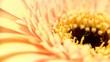 apricot_loop_gerbera_01