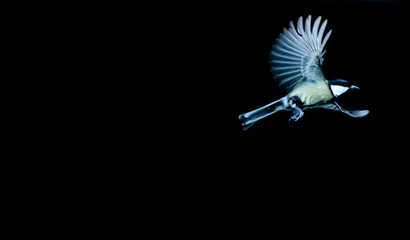 Fliegender Vogel, Kohlmeise (Parus major)