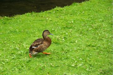 Canard sans queue