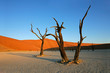 Dead Acacia tree, Sossusvlei, Namibia, southern Africa