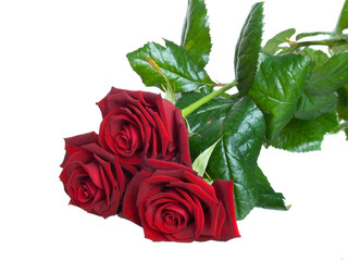 three dark-red rose on a white background.