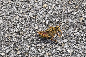 everglades national park, grasshopper