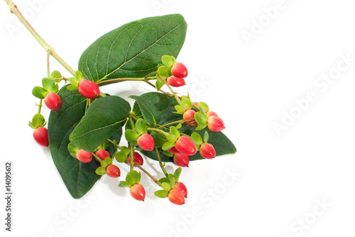 Saint John«s Wort berries