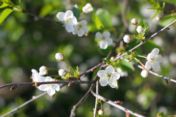 blossoming out cherry