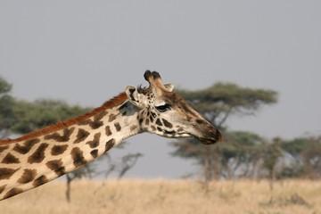 Jirafa en Serengeti