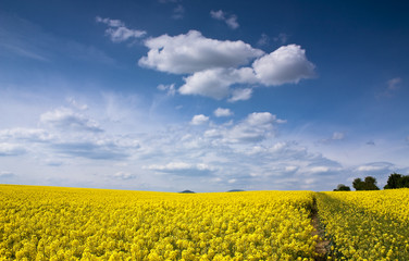 Yellow rape seed field in Slovakia