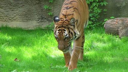 Tiger Walking In Grass