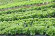 des salades