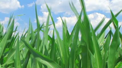 Corn Against Sky