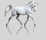 white horse isolated on gray