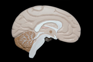 human brain isolated on black