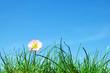 Green grass, flower and blue sky