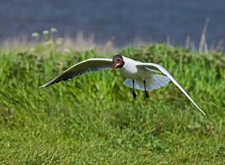 Black-headed Gull scavenging