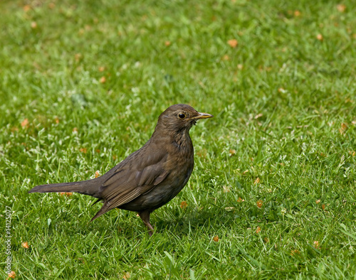 Common Blackbird (Turdus merula) female