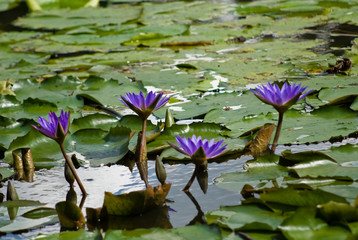 blue nymphaea