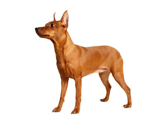 Red Miniature Pinscher isolated on white