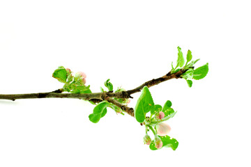 apple tree branch on a white background