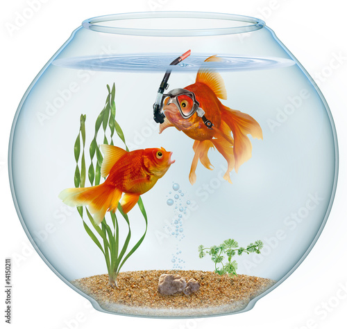 Golfisch  goldfish intelligent