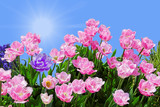Pink Fringed Tulips poster