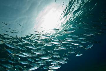 ocean, sun and  striped mackerel