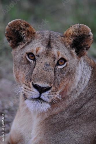 Fototapeta Lioness (Panthera leo), Masai Mara, Kenya