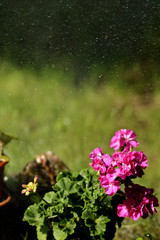 drops on pelargonium