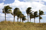 Palm Trees Blowing in the Wind - Fine Art prints