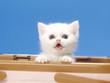 カゴから顔をだす白い子猫