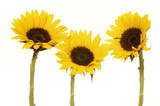 Yellow Sunflower isolated on white Vibrant poster