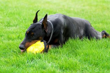 doberman playing with yellow ball