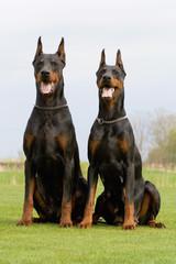 two dobermans