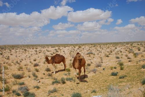 2 chameaux dans le sahara