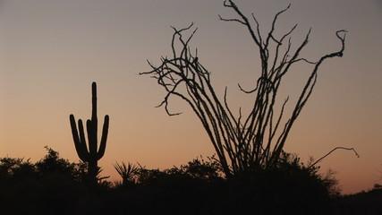 Saguaro and Ocotillo coming into focus