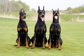three dobermans
