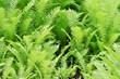 Grüne Farne