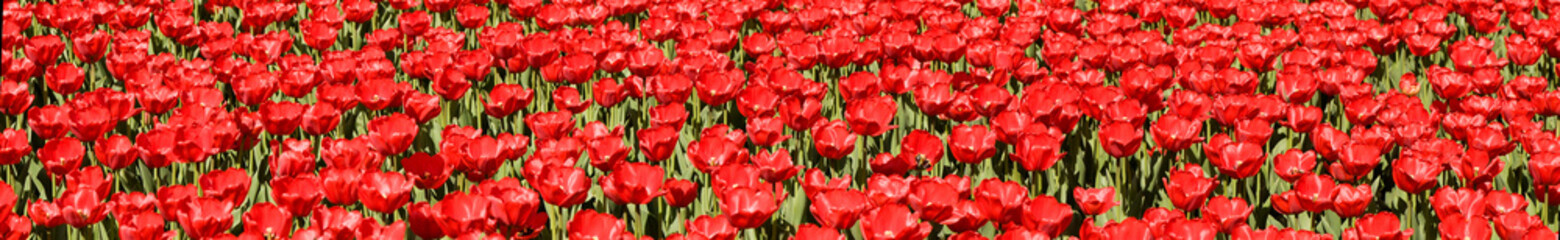 Panorama of beautiful red tulip field