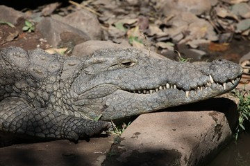 crocodile near the Zambezi river