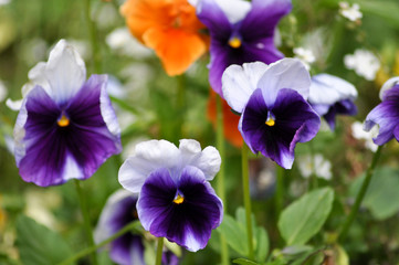 Gartensblumen