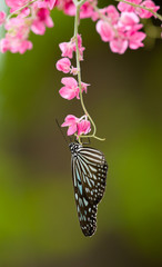 Upsidedown Tiger Butterfly Feeding on Pink Flowers
