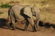 African Bush Elephant (Loxodonta africana) at Masai Mara, Kenya