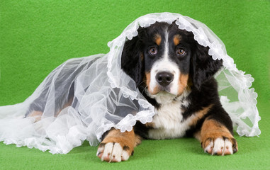 lying young bernese mountain dog with veil, isolated on green