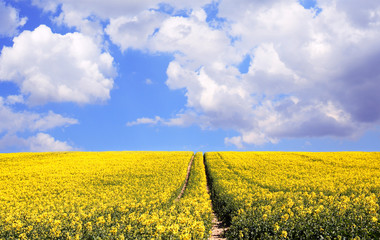 Oilseed Rape Field and cloudy sky