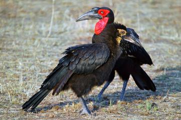 Southern Ground-hornbill (Bucorvus leadbeateri), Masai Mara