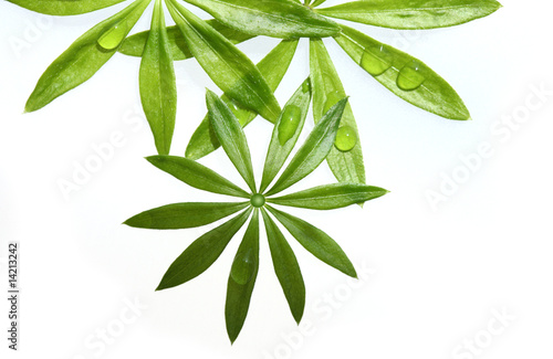 Sweet Woodruff Foliage